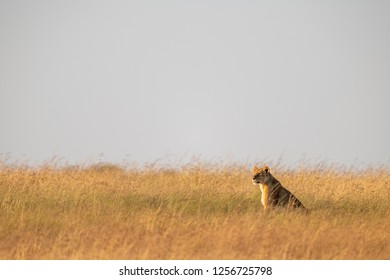 Lioness sits in long grass on horizon