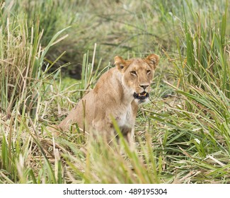 lioness sitting in long grass