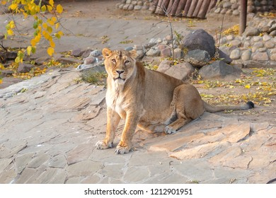 lioness sitting and looking at the lens on a sunny autumn day