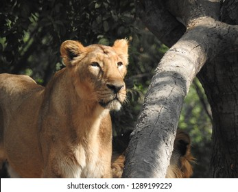lioness sitting on grass near trees at daytime with green trees and leaves in background nature. Sitting on the ground with pride lioness in forest amazing view in port-lite mode.