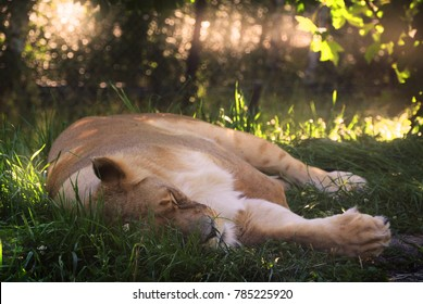 lioness sleeping in the shadow