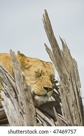a lioness sleeps on a dead acacia tree, masai mara