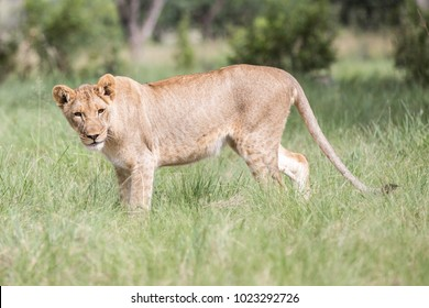 Lioness  at South Africa.