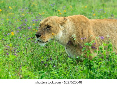 Lion Stalking Prey Stock Images, Royalty-Free Images ...