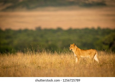 Lioness standing in grass with trees behind