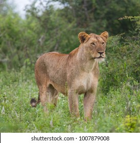 lioness standing and staring into the African bushveld