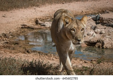 Lioness standing at a waterhole in the Kgalagadi Transfrontier Park, South Africa.