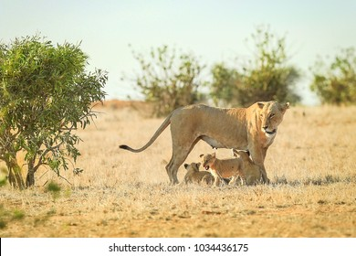 Lioness standing while her three cubs playing at her feet in a sun-burned grass