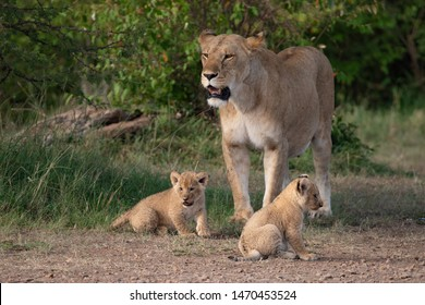 Lioness standing whilst her two cubs play at her feet in Masai Mara, Kenya
