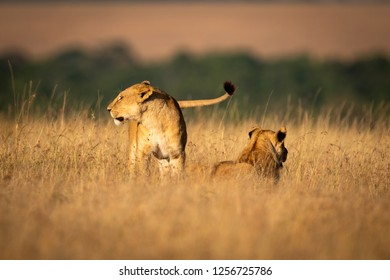 Lioness stands by another in long grass