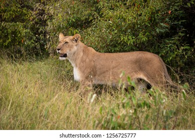 Lioness stands in long grass in bushes