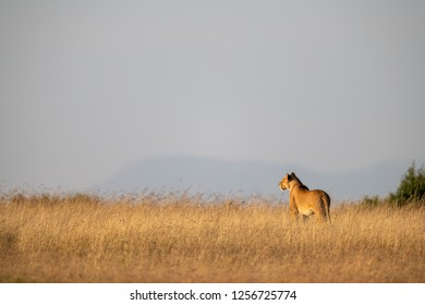 Lioness stands in long grass on horizon