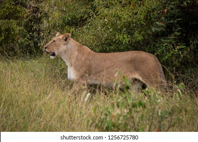Lioness stands in profile in long grass