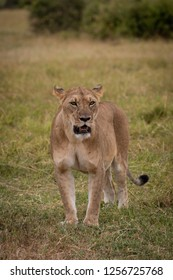 Lioness stands staring in grass near bushes