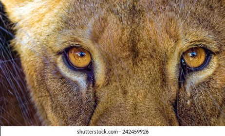 Lioness staring directly into the camera behind scratched glass
