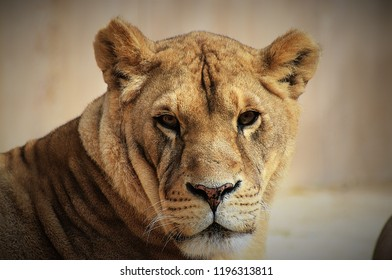 lioness staring at you
