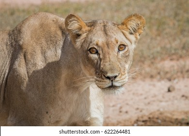 Lioness starring at the camera in the Kgalagadi Transfrontier Park, South Africa.
