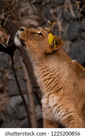 lioness stretches and looks, branches and leaves. Indian (Asian) lions. lionesses show emotions and social life.