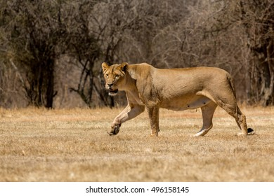 A lioness strolling around in the dry savannah lands of at a national park in South Africa