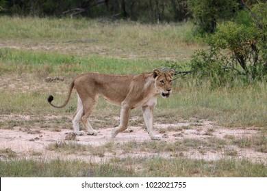 Lioness strolling through the african savanna