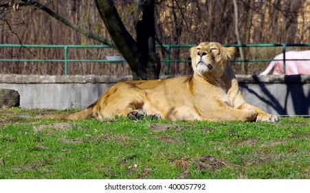 Lioness in the sun .