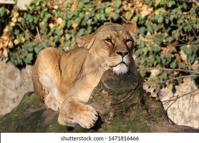 A lioness taking a well-deserved rest at Artis zoo after being fed.