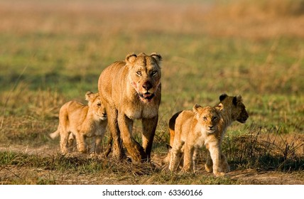 Lioness with three cubs. The lioness after hunting conducts cubs to prey.