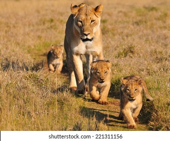 Lioness and three cubs walking on a path