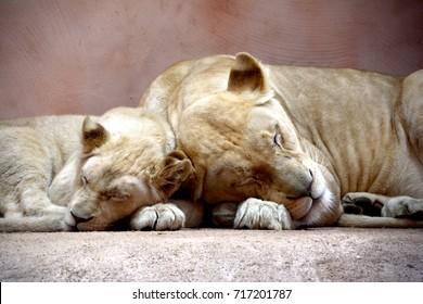 4edc13395 Tiger Teeth Images, Stock Photos & Vectors   Shutterstock