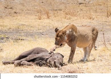 lioness touching a killed elephant calf with her paw, Hwange National Park, Zimbabwe