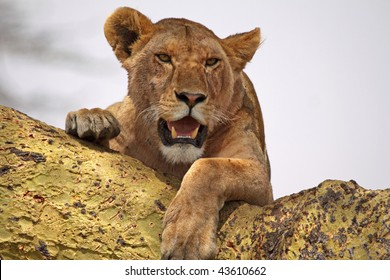 Lioness using an acacia tree as a vantage point in the Serengeti national park, Tanzania