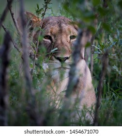 Lioness waits patiently for prey in bushes