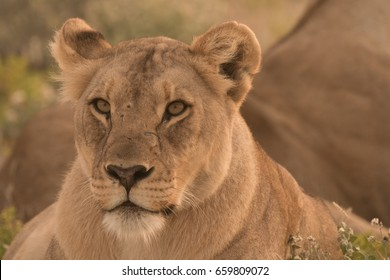 Lioness wakes up from the daytime rest and move early in the evening to prepare for the nightly hunt near Okaukeujo, Etosha National Park, Namibia