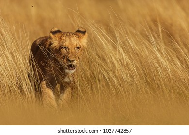 lioness is walking from grass