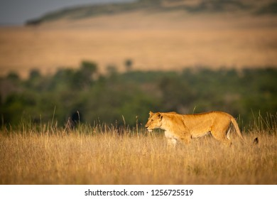 Lioness walking in long grass on horizon