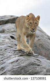 Lioness walking on wet rock showing her tongue