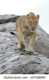 Lioness walking on wet rock