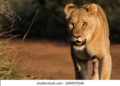 Lioness walking in the Pilanesberg National Park in South Africa