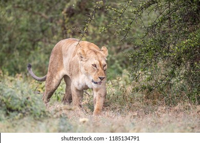lioness walking towards the camera with green shrubs around her
