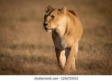 Lioness walks across dry savannah looking left