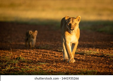 A lioness walks along a gravel airstrip at sunrise, followed by her young cub. They both have golden coats, made to glow in the warm early morning light.