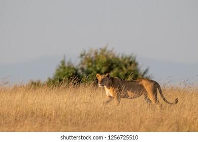 Lioness walks in golden light on savannah
