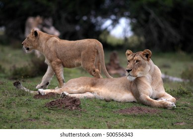 A lioness watches and her cub walks behind her. South Africa