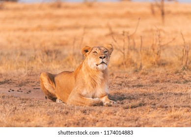 Lioness watching carefully