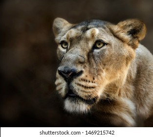Lioness watching over her prey