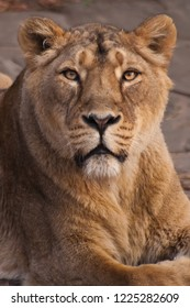 the lioness is watching you. The lioness is a strong and beautiful animal, demonstrates emotions. lion's head