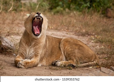 The lioness widely opens its gluttonous red mouth resting on the yellow grass, the predator yawns on vacation.
