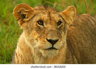Lioness in the wild. Africa. Kenya. Masai Mara