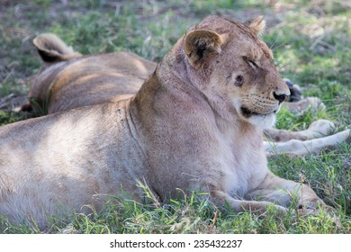 Lioness with a wound