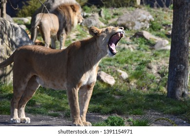 Lioness yawning after mating with the male in the background